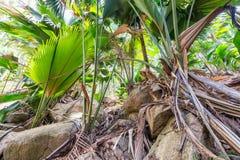 Tropical forest in Valle de Mai, Praslin, Seychelles.  royalty free stock photos