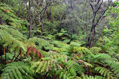 Tropical forest in Volcanoes National Park, Big Island of Hawaii Royalty Free Stock Photography