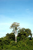 Tropical forests. A single big tree on the tropical forests Stock Image