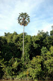 Tropical forests. A single big tree on the tropical forests Stock Photography