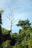 Tropical forests. A single big tree on the tropical forests Royalty Free Stock Photography