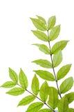 Tropical fragrant leaves (Wrightia religiosa Benth) isolate on w Stock Photography