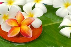 Tropical frangipani Stock Image