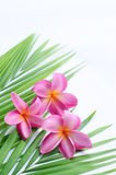Tropical frangipani stock photo