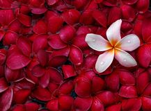 Tropical frangipani Royalty Free Stock Photos