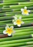 Tropical frangipani. On green bamboo Royalty Free Stock Image