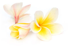 Tropical Frangipani Stock Images