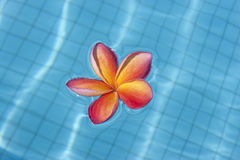 Tropical frangipani floating in blue pool Royalty Free Stock Image