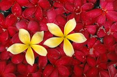 Tropical frangipani flower Stock Photos