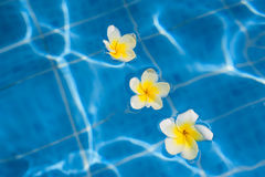 Tropical frangipani flower floating in blue water Stock Photography