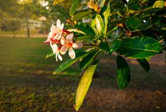 Tropical Frangipani flower Plumeria alba and green leaves on blur background in the park with flare light. Royalty Free Stock Photos
