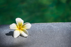 Tropical frangipani flower on the side of the pool Stock Photo