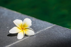 Tropical frangipani flower on the side of the pool Royalty Free Stock Image