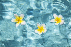 Tropical frangipani flower in water Stock Photography