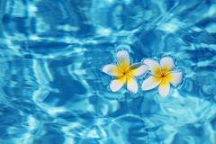Tropical frangipani flower in water Royalty Free Stock Photography