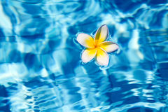 Tropical frangipani flower in water Royalty Free Stock Photos