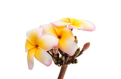 Tropical frangipani flower Stock Photography