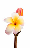 Tropical frangipani flower Stock Image
