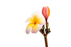 Tropical frangipani flower Royalty Free Stock Photos