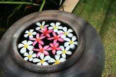 Tropical Frangipani Flowers. North of Thailand Stock Image