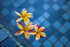 Tropical frangipani flowers floating Stock Image