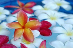 Tropical frangipani in the pool Stock Images