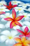 Tropical frangipani in the pool Royalty Free Stock Images