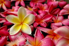 Tropical frangipani in the spa Royalty Free Stock Photography