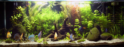 Tropical Freshwater Aquarium. A planted tropical freshwater aquarium Royalty Free Stock Photo