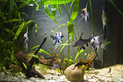 Tropical Freshwater Aquarium. With colourful fish and green plants Royalty Free Stock Photos