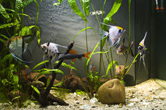 Tropical Freshwater Aquarium. With colourful fish and green plants Stock Photography