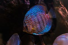 Tropical freshwater aquarium with beautiful colourful fish under water.  royalty free stock images