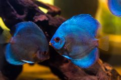 Tropical freshwater aquarium with beautiful colourful fish under. Water royalty free stock photos