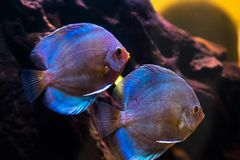 Tropical freshwater aquarium with beautiful colourful fish under water stock photo