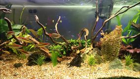Tropical freshwater aquarium stock video