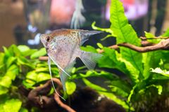 Tropical freshwater aquarium with colourful fish and green plants.  royalty free stock photo