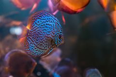 Tropical freshwater aquarium with colourful fish and green plants.  royalty free stock images