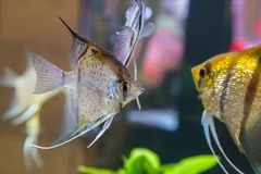 Tropical freshwater aquarium with colourful fish and green plants.  stock images