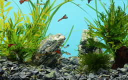 Tropical freshwater aquarium Royalty Free Stock Photo