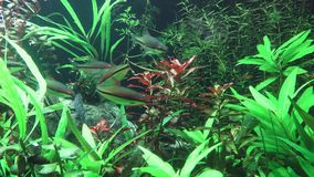 Tropical freshwater aquarium with fishes. A green beautiful planted tropical freshwater aquarium with fishes stock video footage