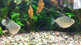 Spotted silver dollar fish stock video footage
