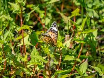 Tropical fritillary butterfly rests on leaves. A tropical fritillary butterfly, argynnis hyperbius, rests in the undergrowth of a Japanese park and forest stock photo