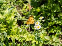 Tropical fritillary butterfly on white daisies 1. A tropical fritillary butterly, argynnis hyperbius, rests on small white daisies in a Japanese park stock image
