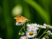 Tropical fritillary butterfly on white daisies 2. A tropical fritillary butterly, argynnis hyperbius, rests on small white daisies in a Japanese park stock image
