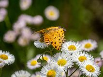 Tropical fritillary butterfly on white daisies 5. A tropical fritillary butterly, argynnis hyperbius, rests on small white daisies in a Japanese park stock photography