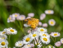 Tropical fritillary butterfly on white daisies 4. A tropical fritillary butterly, argynnis hyperbius, rests on small white daisies in a Japanese park royalty free stock photos