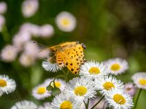 Tropical fritillary butterfly on white daisies 6. A tropical fritillary butterly, argynnis hyperbius, rests on small white daisies in a Japanese park royalty free stock image