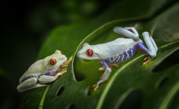 Tropical frogs background Stock Photo