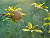 Tropical fruit - Chiku. Chiku fruit hanging on the tree Stock Photo
