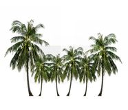 Tropical fruit, coconut palm tree isolated on white. Group of coconut palm tree Thai fruit ingredient of food and dessert and drinks growing up in the garden royalty free stock images